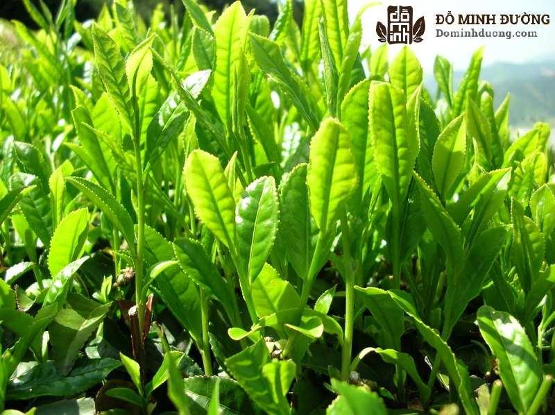 Trà xanh thường được sử dụng để chữa ngứa tại nhà