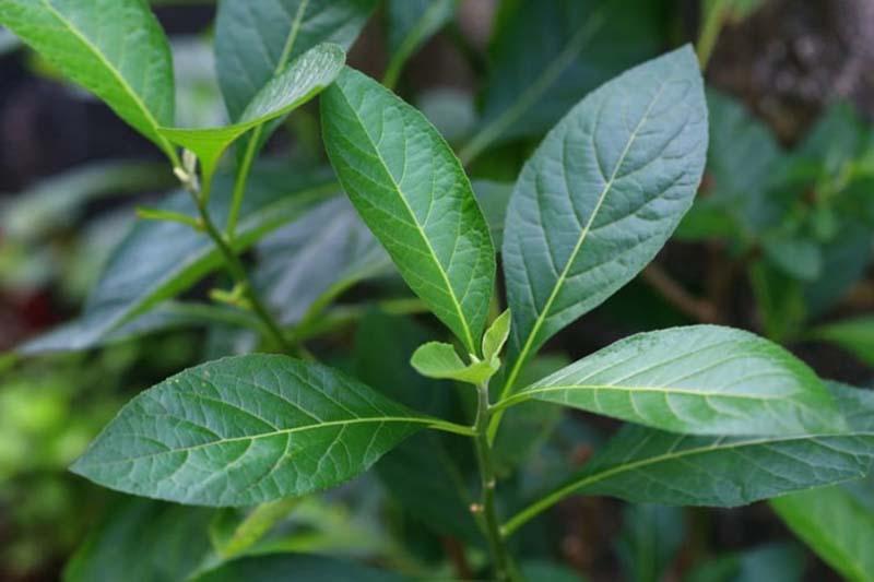 Các dược chất có trong lá mật gấu có tác dụng chữa trị thoát vị đĩa đệm rất tốt