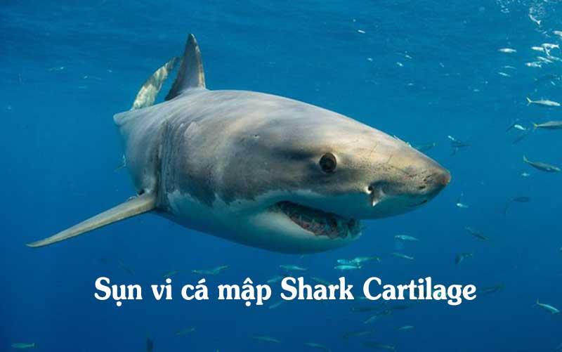 Sụn vi cá mập Shark Cartilage có nhiều tác dụng tốt cho hệ xương khớp