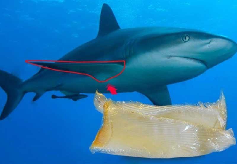 Sụn vi cá mập của Nhật Bản loại nào tốt