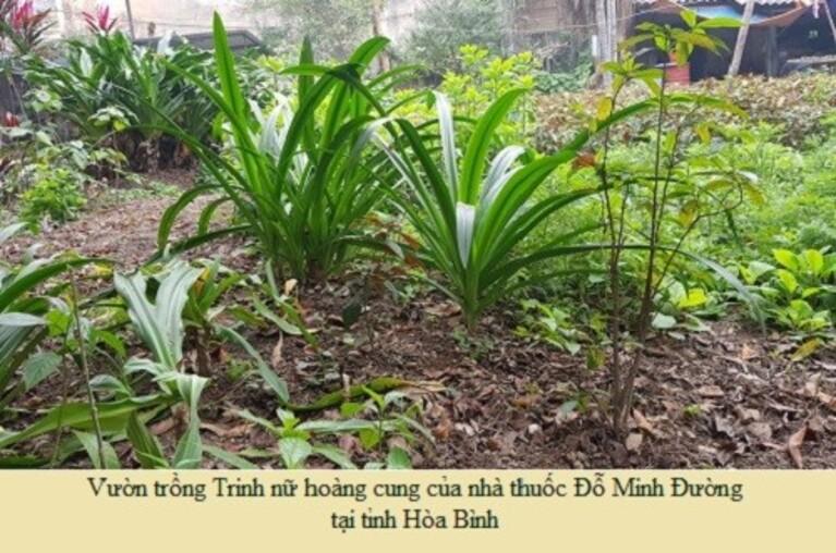 Việc đầu tư vườn trồng Trinh nữ hoàng cung chuyên biệt là cần thiết nhằm đảm bảo hàm lượng hoạt chất sinh học để làm thuốc