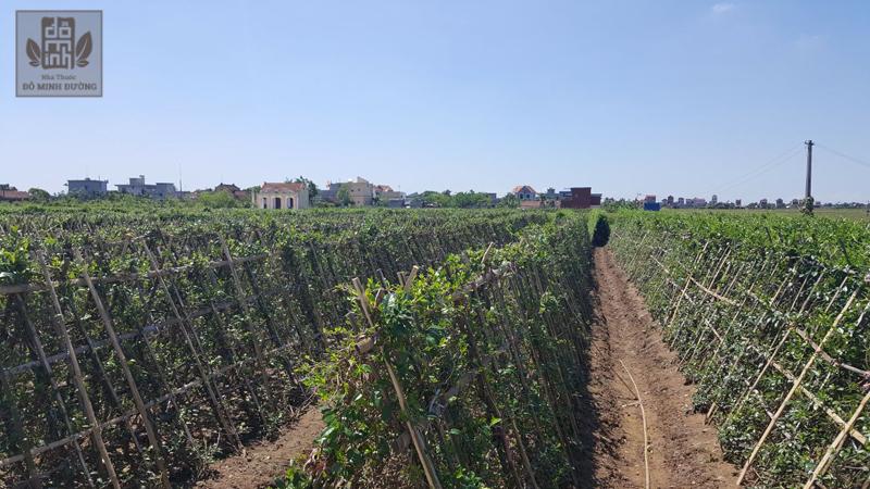 Vườn trồng chuyên canh kim ngân hoa của nhà thuốc Đỗ Minh Đường