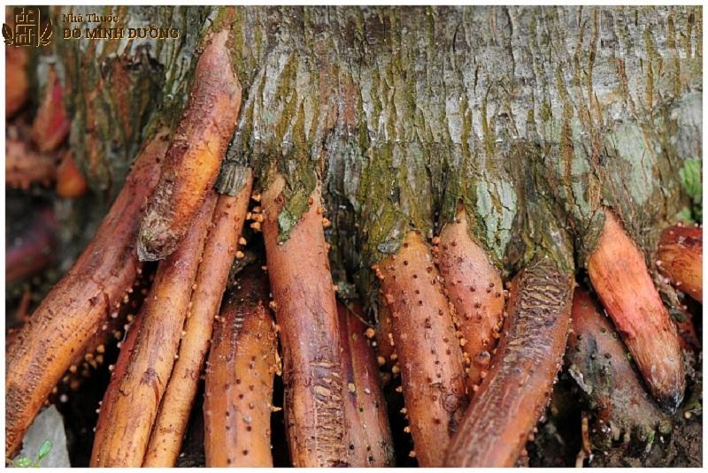 Rễ cây cau là một vị thuốc có công dụng tăng cường sinh lý nam hiệu quả