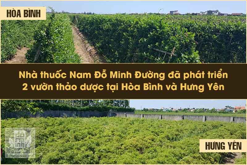 Vườn dược liệu sạch dùng làm thuốc của Đỗ Minh Đường