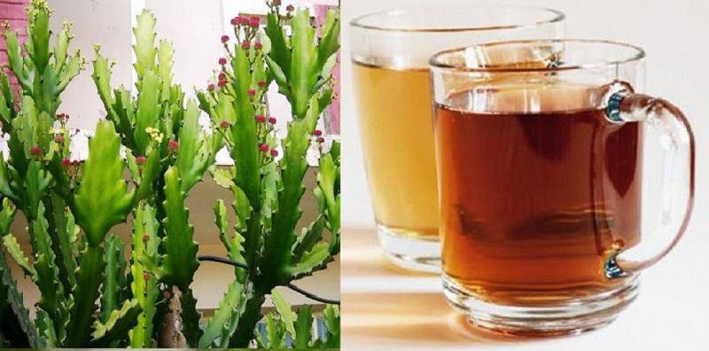 Uống nước sắc xương rồng giúp hạ đường huyết