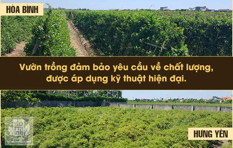 Chúng tôi có vườn thảo dược sạch tại Hòa Bình và Hưng Yên