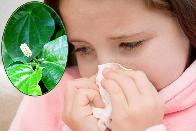 Bài thuốc chữa trị viêm mũi dị ứng bằng lá lốt được đánh giá cao