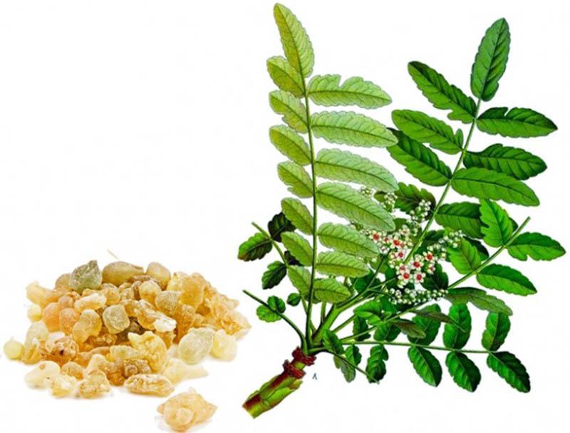 Cách chữa viêm va bằng bài thuốc dân gian từ nhũ hương
