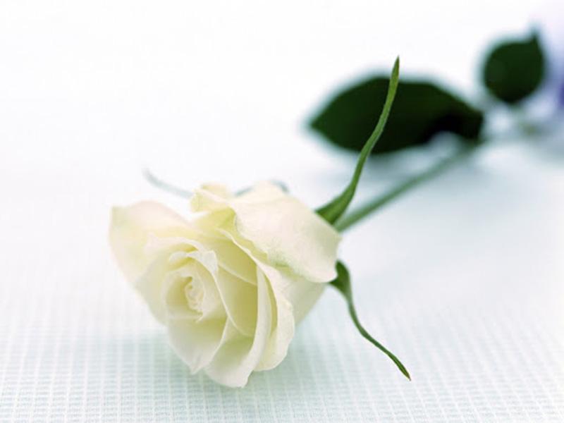 Trị sổ mũi bằng phương pháp dân gian từ hoa hồng trắng