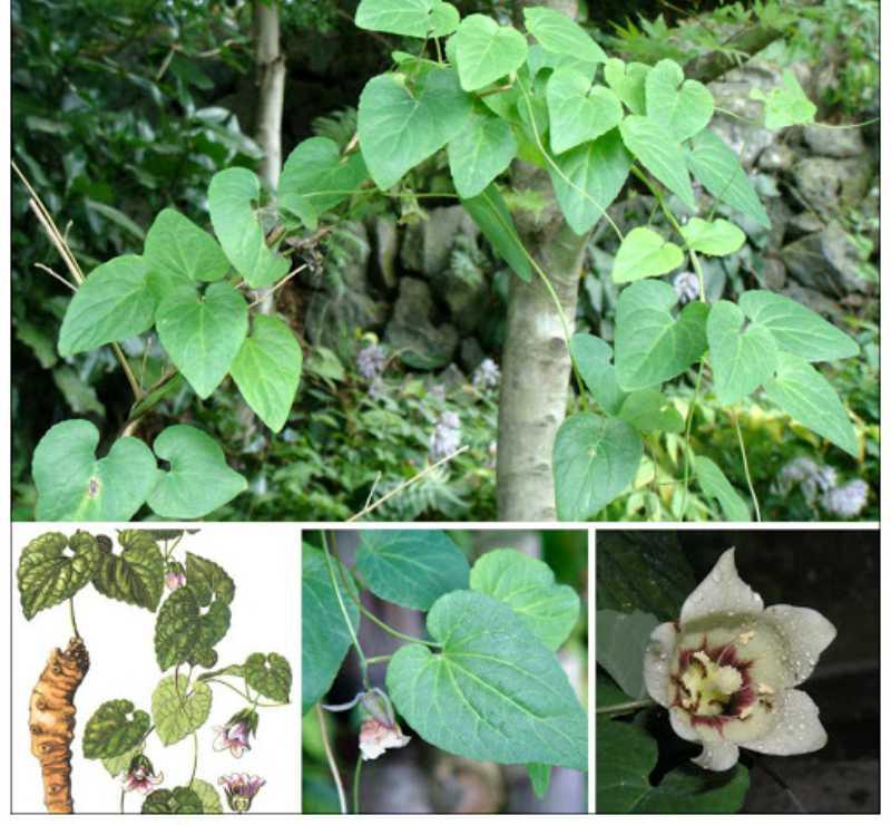Bài thuốc Đông y từ cây Đẳng Sâm