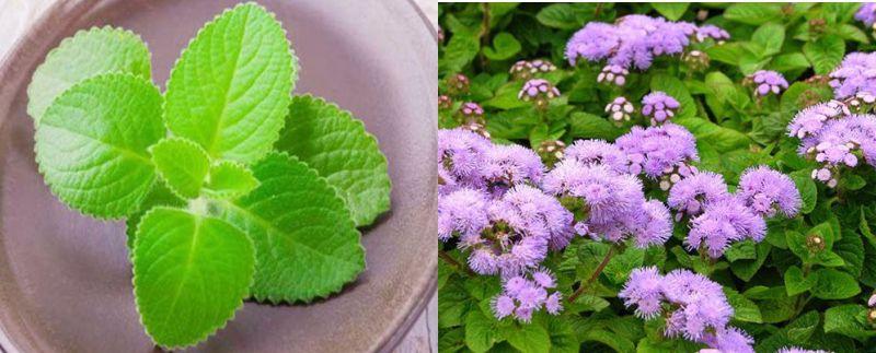 Chữa viêm mũi dị ứng bằng lá cây húng chanh và cây hoa ngũ sắc
