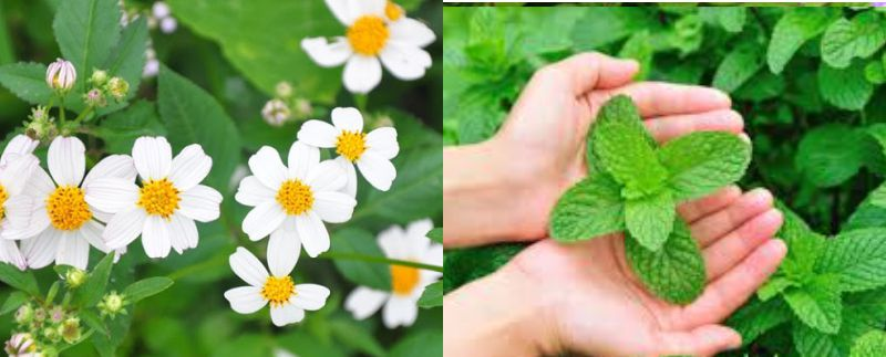 Chữa viêm mũi dị ứng bằng hoa Xuyến Chi hoặc Lá Bạc Hà