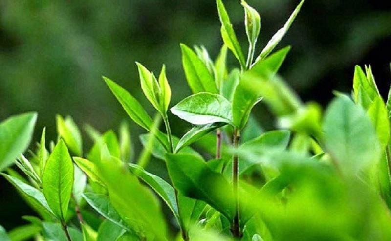Tắm nước trà xanh làm giảm tình trạng nổi mẩn, ngứa ngáy