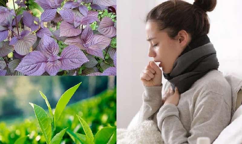 chữa viêm họng bằng lá tía tô và trà xanh
