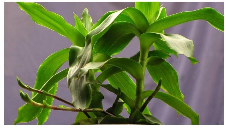 chữa viêm họng bằng cây lược vàng hiệu quả cao