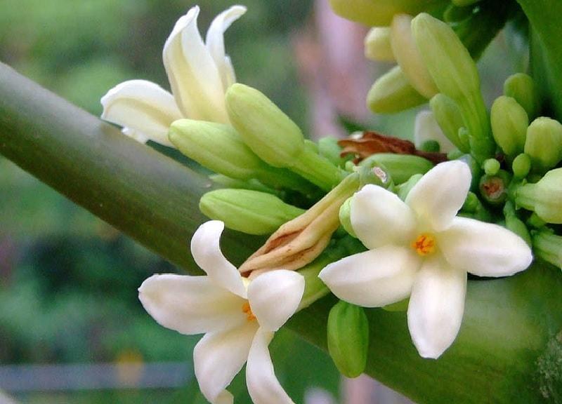 Hoa đu đủ đực chữa viêm họng